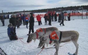 reindeer waiting to race